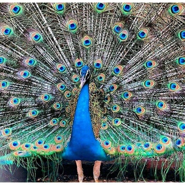 Be a peacock - Nation Bird of India
