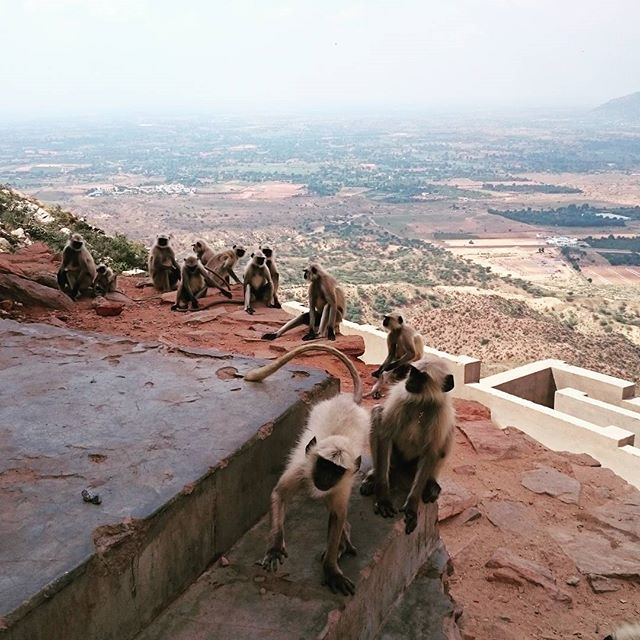Monkeys on the hilltop in India