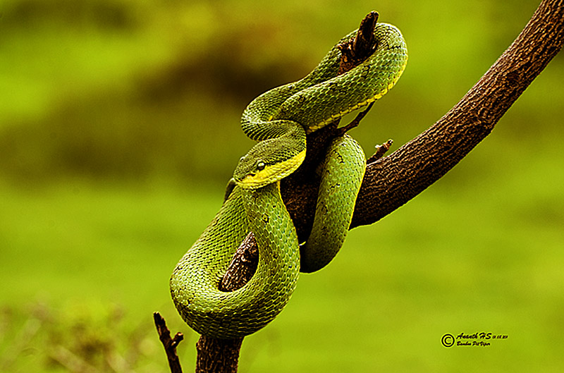 Bamboo Pit Viper photo