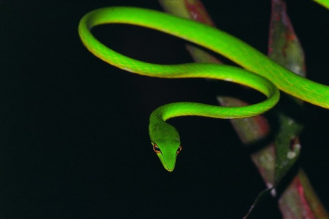 Green Vine Snake photo