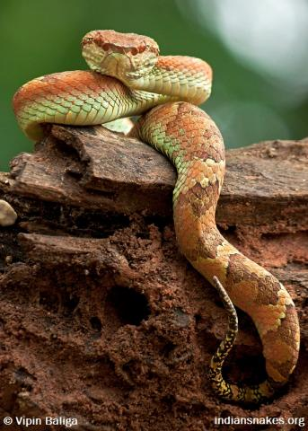 photo of Malabar pit viper