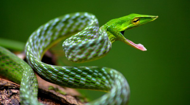 Most Beautiful Snakes Asian Vine Snake photos
