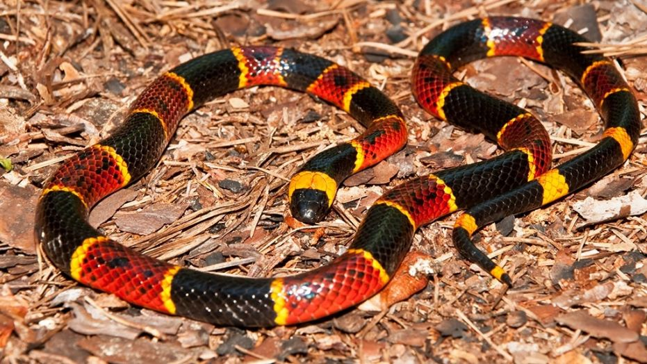 pic of coral snake