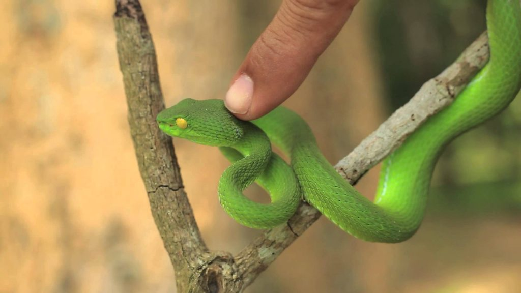 green pit viper photo