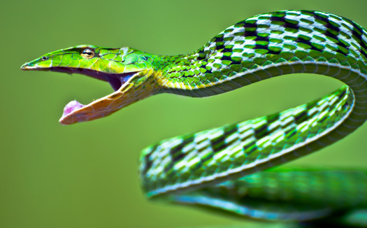 photo of Green Vine Snake