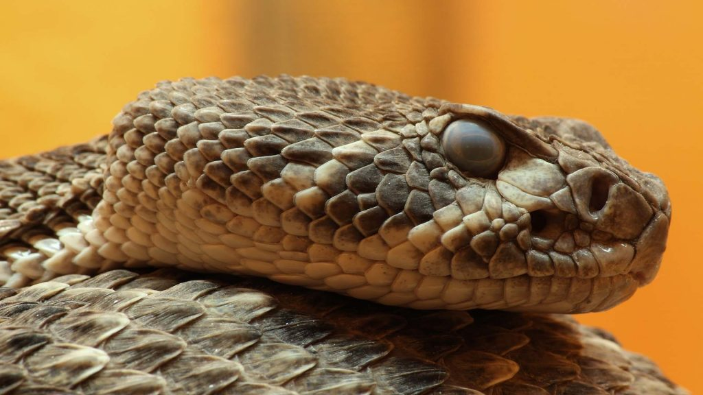 poisonous snakes in India image
