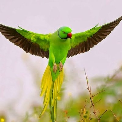 birds for sale in chennai